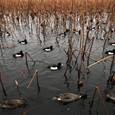 不忍池の鴨