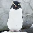 旭山動物園のイワトビペンギン