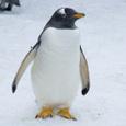 旭山動物園のジェンツーペンギン