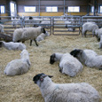 マザー牧場の羊小屋