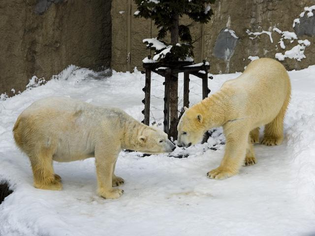 旭山動物園のしろくま