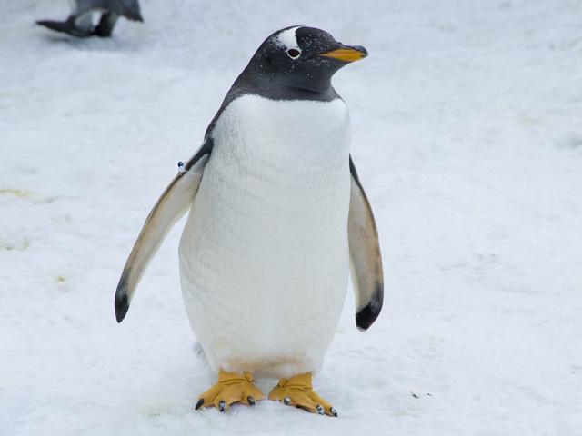 どこかを見つめるペンギン